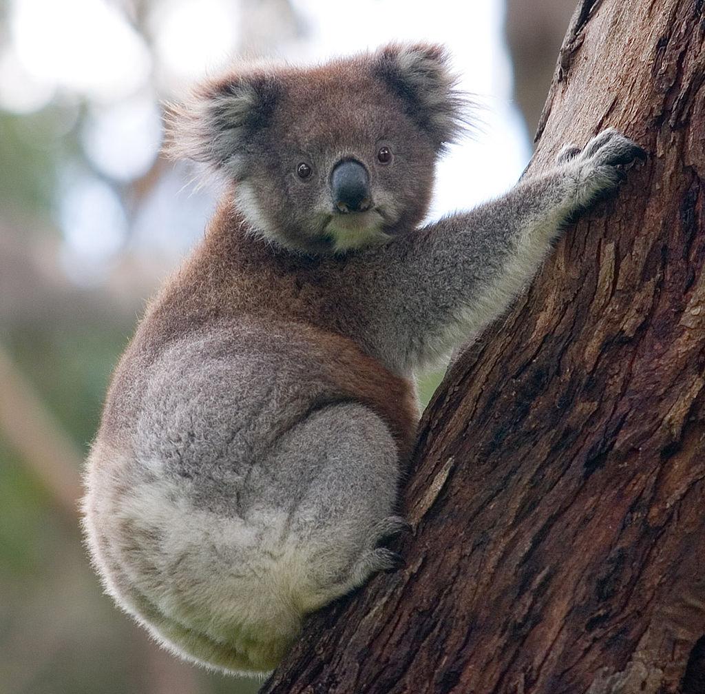 1024px-Koala_climbing_tree.jpg